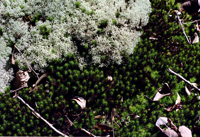 Moss and lichens on the trail from Ponca to Steel Creek, Buffalo National Scenic River, Arkansas, February, 2009.