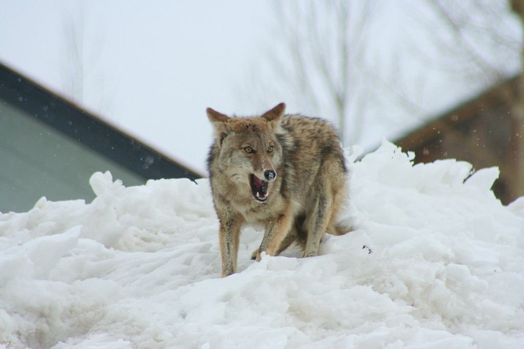 This fox was digging for a snack in the snow - he really is just smiling for the camera!