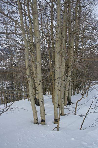 Love those aspens -