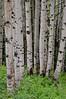 Kebler Pass Road passes through an *enormous* aspen forest.