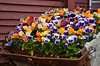 Pansies in a public garden in Crested Butte.  We wandered the old town a bit after checking in at the B&B.