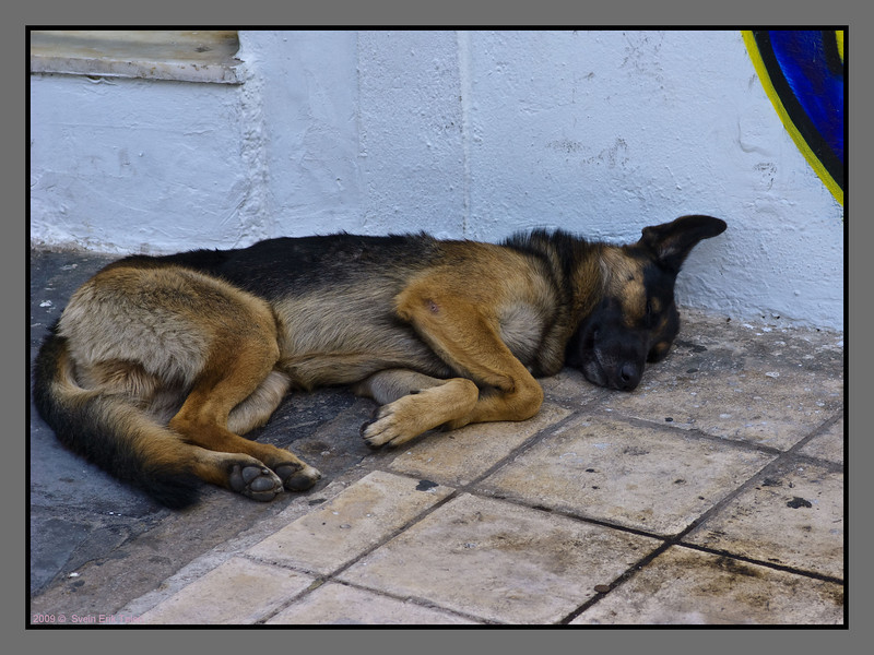 There are a lot of dogs in Chania - some have, some don't have an owner. Many run around on their own - like this sleeping example...