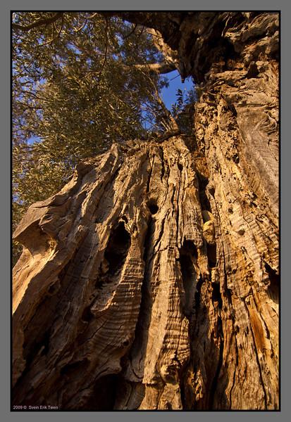 Old olive tree - II