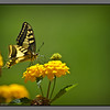 Butterfly<br /> Kato Stalos