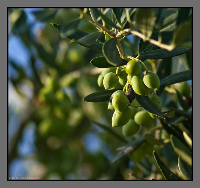 Olives - not ripe yet...<br /> Stalos