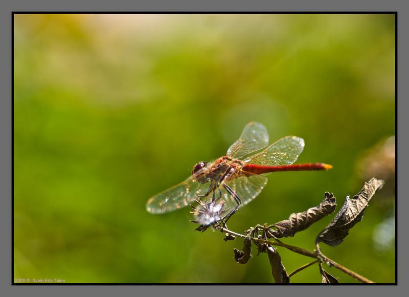 Dragonfly - II<br /> Kato Stalos