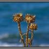 Seaside thistle