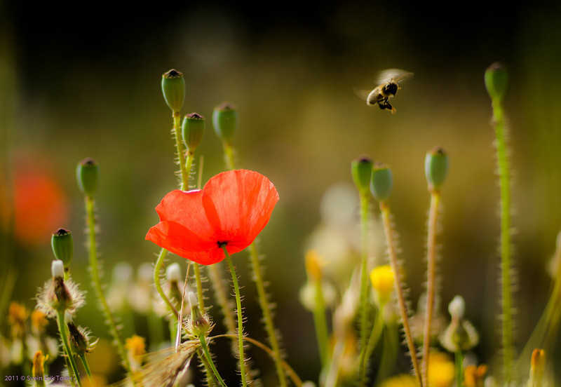 Poppy and bee, Loutro