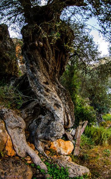 Olive tree, Loutro