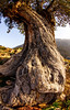 Old Olive tree, Loutro