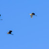 Pelicans over Kissamos bay...
