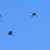 Pelicans over Kissamos bay...