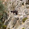 Goat in Agio Farango, Crete, Greece.