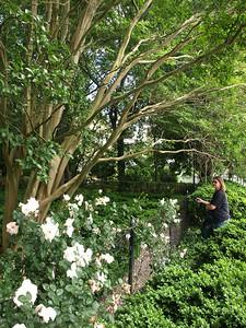 Boxwood garden, Princess Anne, MD