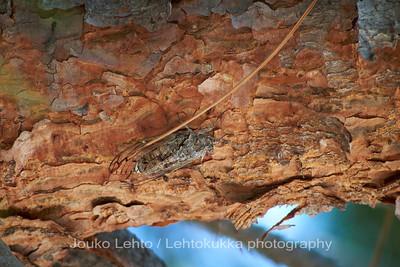 Kaskas - Locust. Split