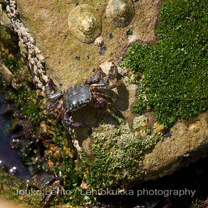 Rapuja ja simpukoita - Crabs and clams. Split