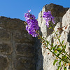 Flowers growing out of the medieval walls