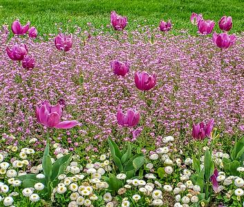 Tulips in Zagreg parks