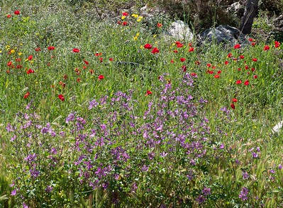 Wildflowers abound with red poppies and a variety  of ther flowers