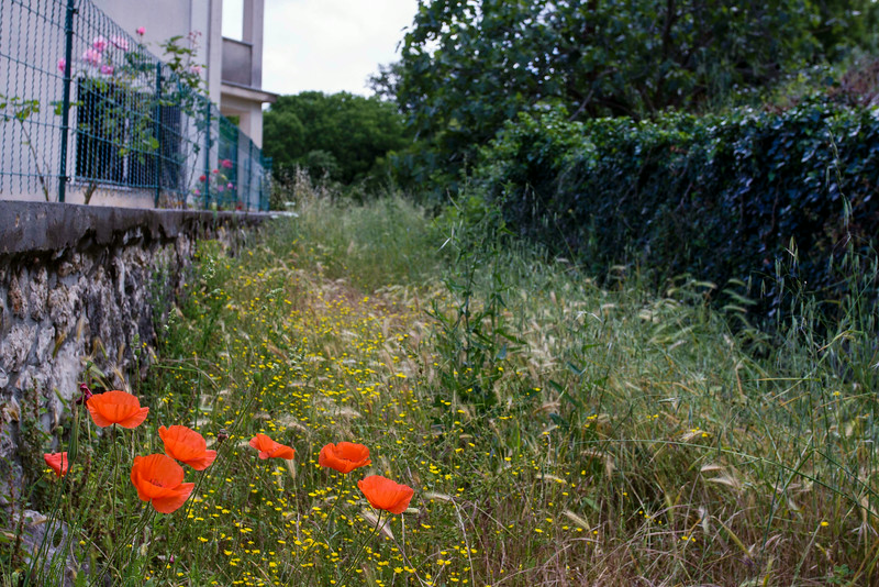 Poppies growing on an old road.
