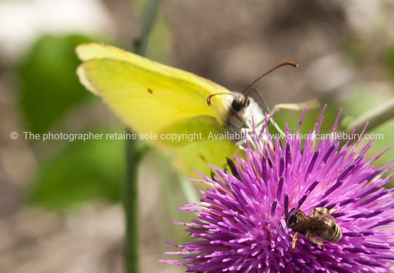 "Croatia, ""Heaven on Earth""<br /> Butterfly on thistle flower. SEE ALSO:  <a href=""http://www.blurb.com/b/2340783-croatia"">http://www.blurb.com/b/2340783-croatia</a>"