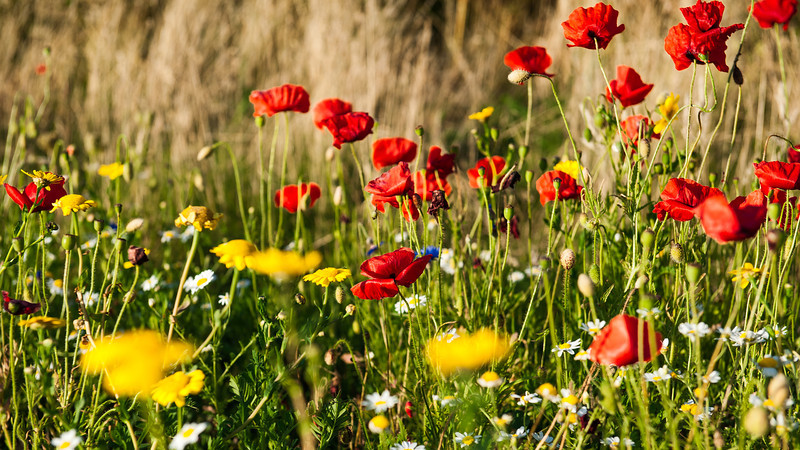"""In 1883 the London journalist Clement Scott began to write about the Cromer area and named the stretch of coastline """"Poppyland"""" because of the numerous poppies which grew (and still grow) in the roadside and the meadows."""