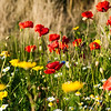"In 1883 the London journalist Clement Scott began to write about the Cromer area and named the stretch of coastline ""Poppyland"" because of the numerous poppies which grew (and still grow) in the roadside and the meadows."