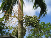 Palm on Murphy Hill Jamaica