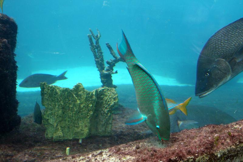 Rainbow Parrotfish - Seagrapes Lagoon