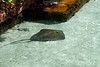 Southern Stingray - Estuary Lagoon