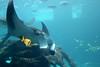 Giant Oceanic Manta Ray