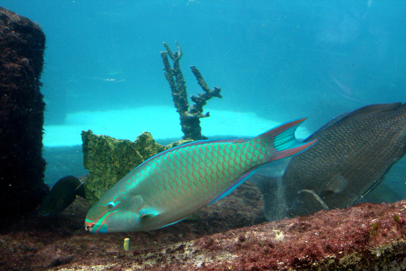 Rainbow Parrotfish - Seagrapes Lagoon