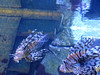 Lionfish Exhibit