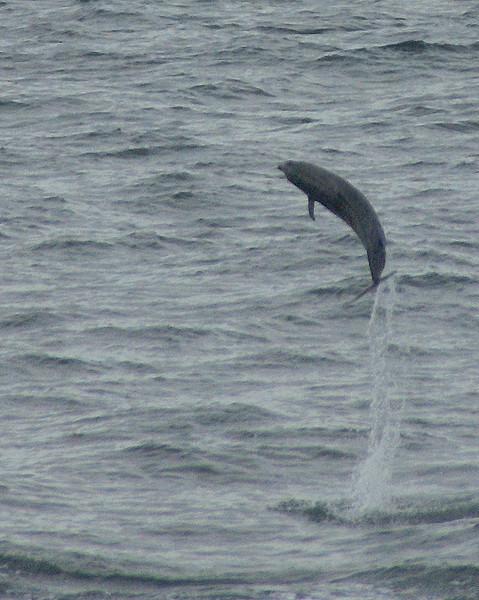Dolphin junping