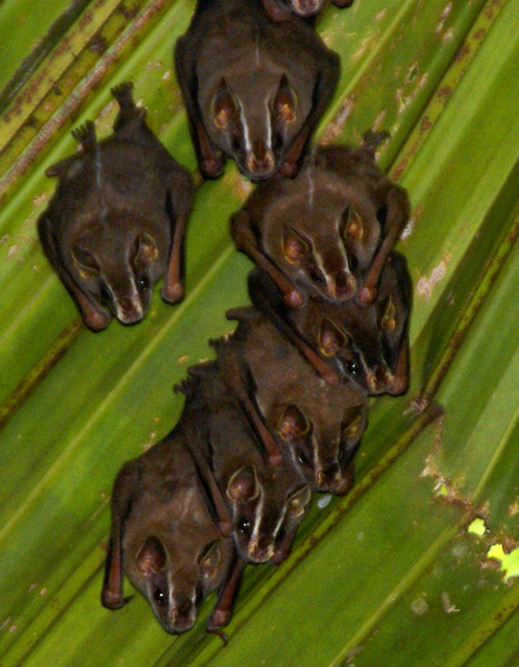 Bats in Banana tree