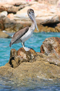 Another pelican in Cabo.  One of my favorite pictures from this trip.
