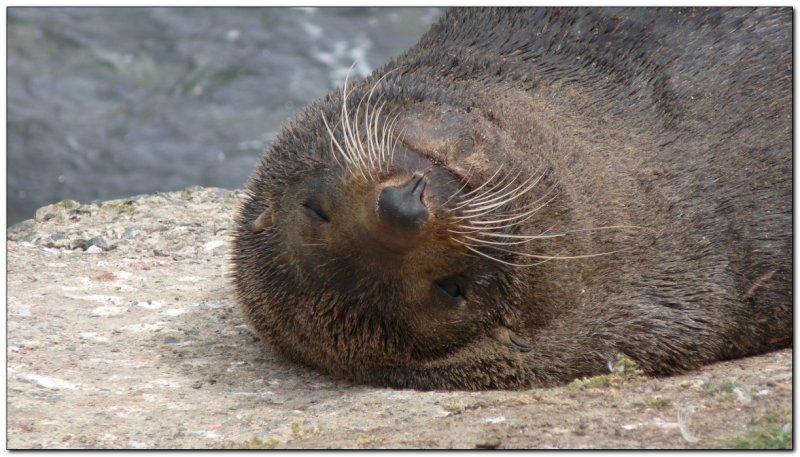 Fur seal (109292841)