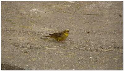 finch in the gardens (109292780)