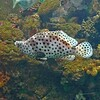 Leopard Fish (New Zealand)