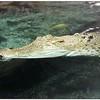 Crocodile (capative) in New Zealand