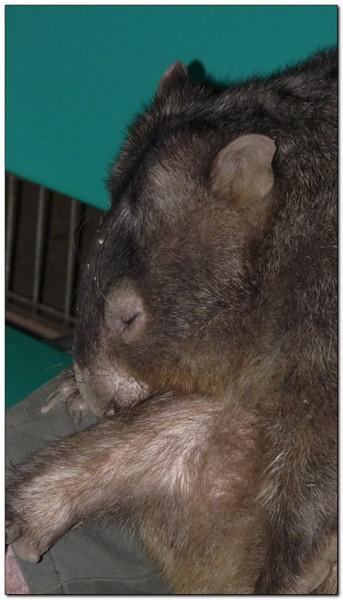 sleeping wombat Sydney, Australia