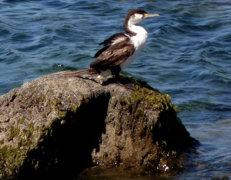 Shag cormorant  - Tauranga