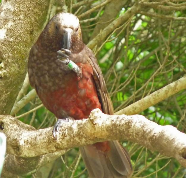 North Island Kaka. Wellington preserve. New Zealand