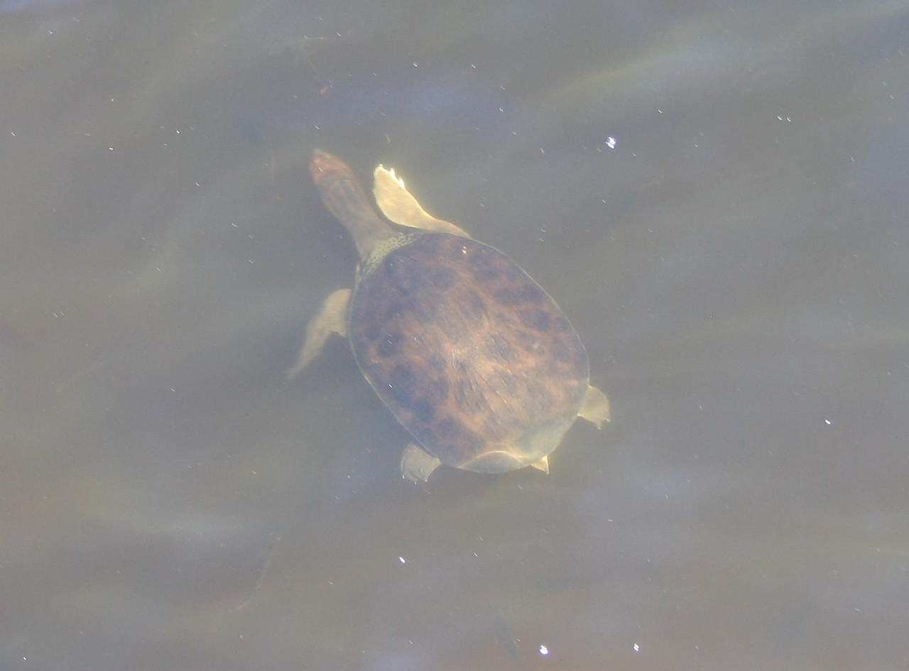 A sea Turtle of some sort. These were all in the hotel pond.