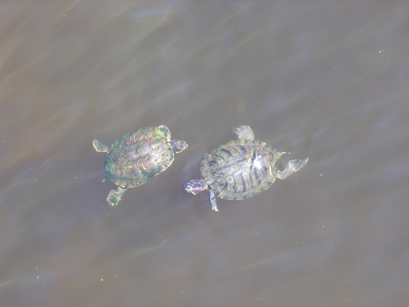 Mom & Dad turtle