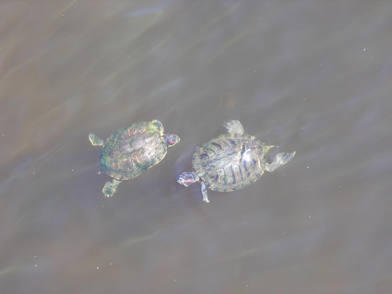 Mom & Dad turtle