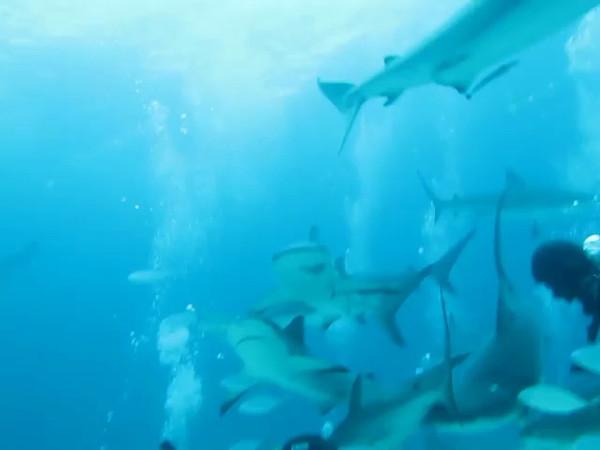 shark feeding at Stuart Cove