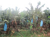 Banana plantation... Blue bags are used to speed ripening and protect developing fruits.