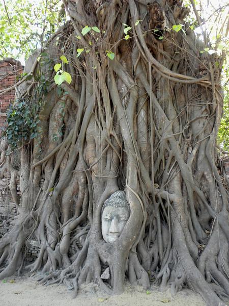 Bangkok - Ayutthaya Historical Park near Bangkok.  This photo shows the iconic head of a Buddha statue held among the roots of a tree.