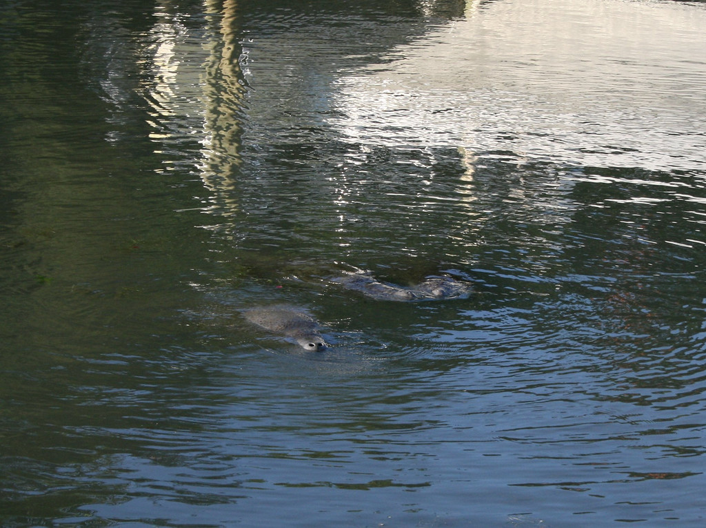 Manatee in the canal behind Ruth's house